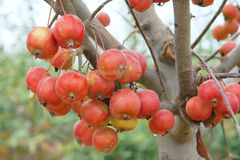 Red fruits. The close-up of red crabapple fruits on branch. Scientific name: Malus spectabilis Stock Photos