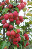 Red fruits. The close-up of red crabapple fruits on branch. Scientific name: Malus spectabilis Stock Images