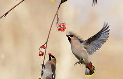Red fruits eating waxwings. On the tree branches Royalty Free Stock Images