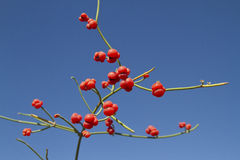 Red fruits of ephedra by the bright sky. Stock Photos
