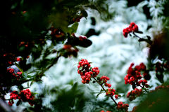 Red. Fruits grow on a plant located in the park of a house Royalty Free Stock Image