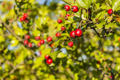 Red fruits of hawthorn Stock Photos