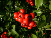 Red fruits of holly Stock Photography