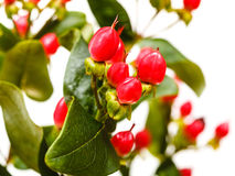 Red fruits of hypericum flower Royalty Free Stock Images