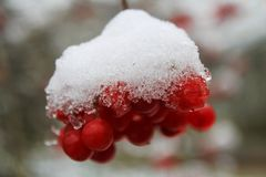 Fruits of mountain - ash under snow. Red fruits of mountain - ash under fresh white snow in one if the December day Stock Photos