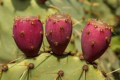 Red fruits of Prickly Pear cactus. Macro shot Royalty Free Stock Image