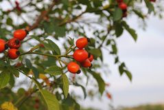 Rose hip, rose haw, rose hep Stock Photo
