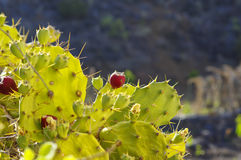 Red fruits of thorny cactus Stock Photo