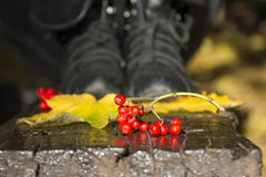 Red fruits and yellow autumn leaves Stock Photo