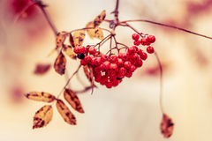 Red fruits with yellow leaves at the end of the Autumn period glowing in yellow, orange and red Stock Photography