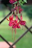 Red Fuchsia Flower, outdoor photo Stock Photos