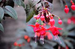 Red Fuchsia Flowers Stock Image
