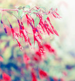 Red fuchsia flowers in garden, flowering plant. Close up stock photography