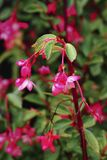 Red fuchsia plant. In summer stock photos