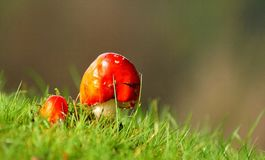Red Fungi in the Grass Stock Images