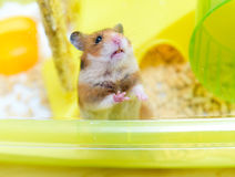 Red Funny hamster looking out of its cage Stock Photo