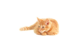Red funny playful kitten Royalty Free Stock Photography