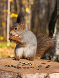 Red funny squirrel Royalty Free Stock Images