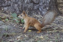 Red squirrel portrait. Wild animal Royalty Free Stock Image