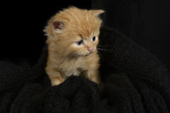 Red fur kitten Royalty Free Stock Image