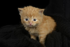 Red fur kitten Stock Photo