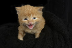Red fur kitten meowing Royalty Free Stock Photos