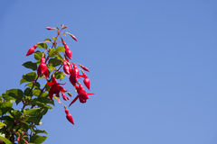 Red fuschia flowers Royalty Free Stock Photo