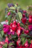 Red fushia flowers Stock Image