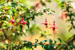 Red fushia flowers against natural green background Stock Image