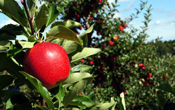 Red gala apple. Beautiful red gala apple on the treen in the orchard Stock Photo