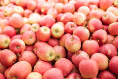 Red Gala apple harvest Royalty Free Stock Images