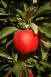 Red gala apple on a tree Stock Photography