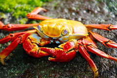 Red Galapagos Crab Stock Photography
