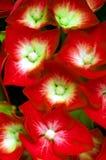 Hydrangea flowers Stock Photography
