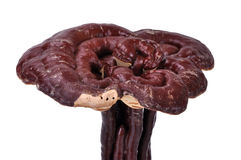 Red Ganoderma lucidum Stock Images