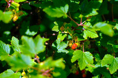 Red garden currant. High quality large size photo of a garden currant: you may see a bush somewhere in the garden or farm, lots of recognisable leaves &#x28 Stock Images