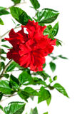 Red garden flower hibiscus on branch with green leaf Royalty Free Stock Photos