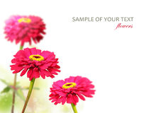 Red garden flowers Royalty Free Stock Image
