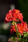 Red garden geranium Stock Images
