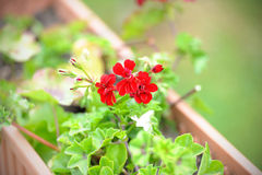 Red garden geranium flowers Stock Image