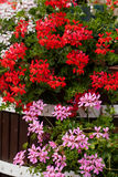 Red garden geranium flowers Royalty Free Stock Images