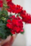 Red garden geranium flowers Royalty Free Stock Image