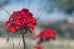 Red garden geranium flowers Stock Images