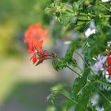 Geranium. Red garden geranium flowers , close up shot royalty free stock photography