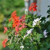 Geranium. Red garden geranium flowers , close up shot stock photo