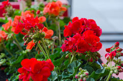 Red garden geranium flowers in pot Royalty Free Stock Image