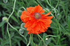 Red garden papaver Royalty Free Stock Photos