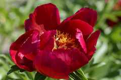 Red garden peony Stock Photos