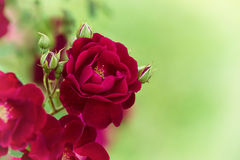 Red garden rose against soft green background. With shallow depth of field Royalty Free Stock Images
