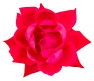 Red garden rose Stock Image